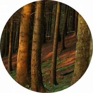 Image of trees in a forest.